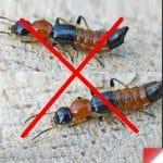 5 cách diệt kiến ba khoang hiệu quả